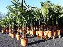 Palme XXL 'light' 170 cm Trachycarpus