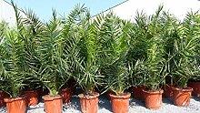 Palme XXL Phoenix canariensis, kanarische
