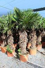 Palmen-Center Hanfpalme Trachycarpus Fortunei,