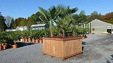 Palmengruppe Palme Trachycarpus fortunei,