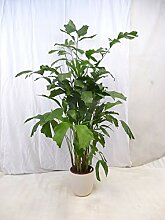 [Palmenlager] Caryota mitis - Fischschwanzpalme -