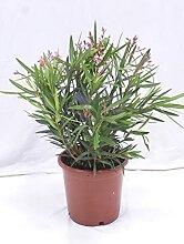 [Palmenlager] - Oleander 80 cm -Busch - Lachs -