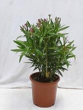 [Palmenlager] - Oleander 80 cm -Busch - ROT -