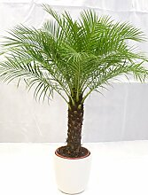 [Palmenlager] - Phoenix roebelenii 150 cm - dicker