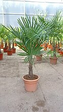 [Palmenlager] - Trachycarpus fortunei 100/120