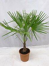 [Palmenlager] Trachycarpus fortunei - Chin.