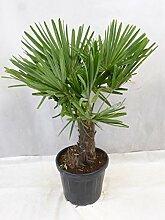 [Palmenlager] - Winterharte Palme -Trachycarpus