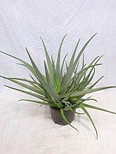 [Palmenlager] XXL Aloe vera -100 cm- üppige,