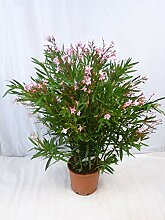 [Palmenlager] - XXL Oleander 130 cm -Busch - ROSA