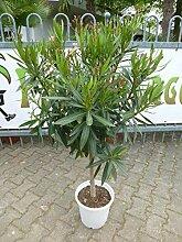 [Palmenlager] - XXL Oleander 160(!) cm -Hochstamm
