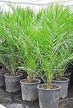 Palmenmann Dattelpalme (Kanarische Dattelpalme) -