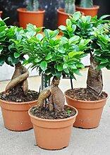 Palmenmann Ficus (Chinesische Feige, Ficus Ginseng