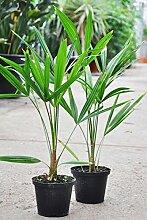Palmenmann Hanfpalme (Fortunei) - Trachycarpus
