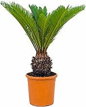 Palmfarn 60-80 cm im 24 cm Topf pflegeleichte