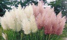 Pampasgras-Pflanze: Weiß/6