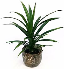 Pandanus Keramikvase, echte Pflanze