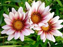 Papermoon Fototapete Afrikanische Gazania Blumen,