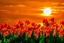 Papermoon Fototapete Rote Tulpen, Vliestapete,