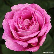 Parfuma®-Duftrose`Carmen Würth®´