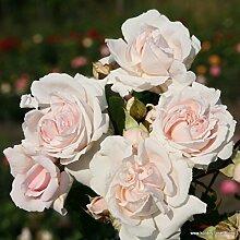 Parfuma®-Duftrose`Constanze Mozart®´