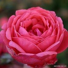 Parfuma®-Duftrose`Gartenprinzessin Marie-Jose®´