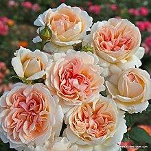 Parfuma®-Duftrose`Großherzogin Luise®´