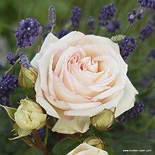 Parfuma®-Duftrose`Madame Anisette®´