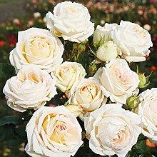 Parfuma Edelrose, Madame Anisette, creme mit