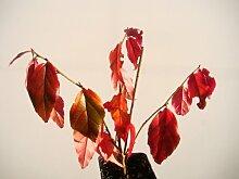 Parrotia persica persica Persische Eisenholz Fresh Starter Pflanze (12–15cm hoch) in einem 7cm Topf–Kleine Baum mit Spektakuläre Herbst Färbung