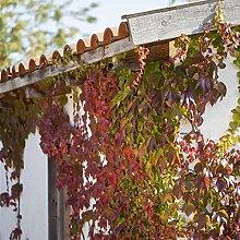 Parthenocissus - Wilderwein Kletterpflanze
