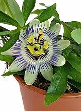 Passiflora caerulea - Passionsblume mit