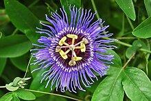 Passiflora incarnata (10 Seeds). AKA Lila