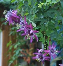 Passionsblume Lavender - Passiflora caerulea