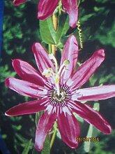 Passionsblume Victoria - Passiflora Victoria