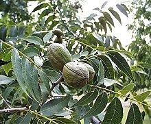 Pekannuss Carya illinoinensis Pflanze 15-20cm