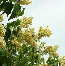 Peking Flieder Bejing Gold® 80-100cm - Syringa