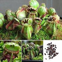 pengyu-Fliegenfalle Samen, 10 Stück Fliegenfalle