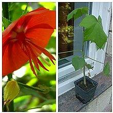 Pentapetes phoenicea,hibiskus ähnliche selten