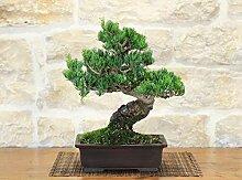 Pentaphilla Pine bonsai tree (8)