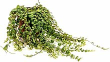 PEPEROMIA PROSTRATA - echte Pflanze