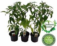 Peperoni Pflanze F1 Sorte, 1 frische Peperoni Pflanze, Aus Nachhaltigem Anbau