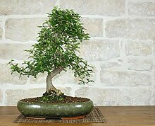 Pepper bonsai tree (36)