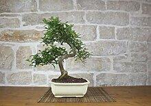 Pepper bonsai tree (37)