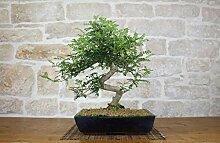 Pepper bonsai tree (38)