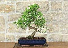 Pepper bonsai tree (40)