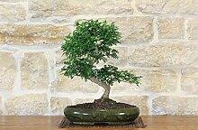 Pepper bonsai tree (42)