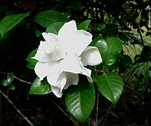 PERAGASHOP 1 Pflanze Gardenia Topf 19 cm Strauch