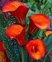 Perfekte Schnittblumen,Calla Lilie