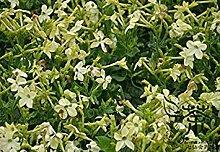 Persischen Tabak Nicotiana Alata Samen 300