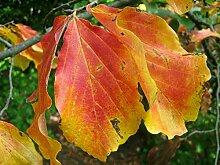 Persischer Eisenholzbaum Parrotia persica